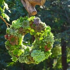 323  Create a stunning living wreath of succulents by lining a wreath frame and packing it full of soil to make a hospitable bed for planting succulents. Let the arrangement set on a flat surface for a few days before hanging it up to enjoy.