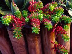 Sedum X Rubrotinctum. very pretty, green and rich cherry red, club shaped, succulent leaves and yellow flowers. Suitable for trailing over the edge of pots or planters. Will survive winter outside in some parts of the UK. image source : http://www.easycactus.co.uk/shop/images/P/3635.1-01.jpg