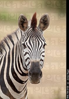 Chapman´s zebra Plains zebra Equus burchelli antiquorum, Kruger National Park, South Africa, Africa