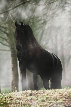 Friesian in the mist - Friesian horse