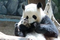 And then, we'll need to get another panda in there. This time, with a baby! #ZAFanFriday submission from Facebook user Tammy L.