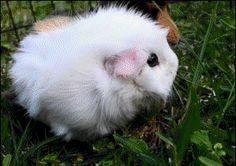 fluffy, eating guinea pig funny gif