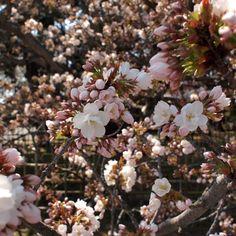 京都御苑 御所御車返 (2) 2011.4.13 /アンジュー フォトギャラリー