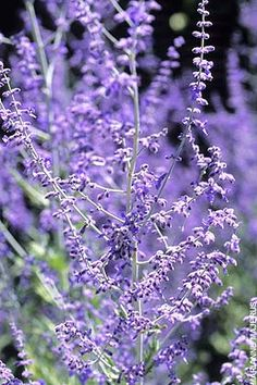 How to grow: Russian Sage. I love to plant some Russian Sage in my garden. It smells so nice! Herb Garden, Lawn And Garden, Garden Plants, Back Gardens, Outdoor Gardens, Pic Vert, Texas Plants, Russian Sage, Winter Vegetables