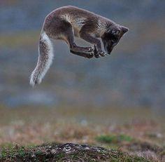 jumping arctic fox, norway | animal + wildlife photography