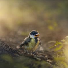 faerieforests: Help me! by Sergey Zimoglyad Love Birds, Beautiful Birds, Baby Animals, Cute Animals, Parus Major, Great Tit, Animal Magic, Young Animal, Walk In The Woods