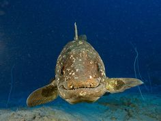 An unidentified species of coelacanth in South Africa's Sodwana Bay (file picture). Photograph by Laurent Ballesta, National Geographic Underwater Creatures, Underwater World, National Geographic, Crocodile, Ancient Fish, Living Fossil, Deep Sea Creatures, Strange Creatures, Pisces