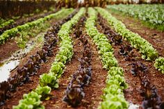 Rows of Lettuce for days...Photo by Ted O'Donnell for the Beerenberg ProvenanceProject