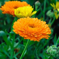 Botanical Name: Calendula officinalis kah-LEND-yew-lah oh-fi-shi-NAH-lisCommon Name: Pot marigoldGenus: Calendula  Pot marigolds bloom most of the summer, but are intolerant of intense heat and may die out during periods of hot humid weather. Their branching stems are covered with simple, alternate leaves and they produce large flowers in different hues of yellow and orange in the summer.