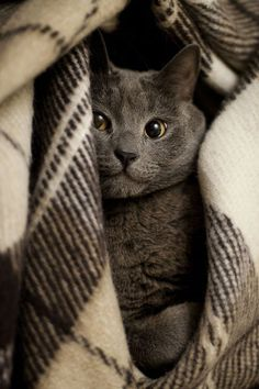 Chartreux Cat Breeds - Cats In Care Beautiful Cats, Animals Beautiful, Cute Animals, Animals Images, Blue Cats, Grey Cats, Gray Kitten, Cute Kittens, Cats And Kittens