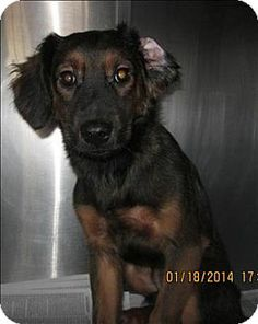 #GEORGIA ~ ID 14-01-0190 is a 25lb Shepherd mix in #urgent need of a loving #adopter / #rescue at PAULDING COUNTY ANIMAL CONTROL 779 Industrial Blvd #Dallas GA jennifer.wigley@paulding.gov  Ph 770-445-1511
