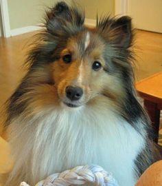 shetland sheepdog 6