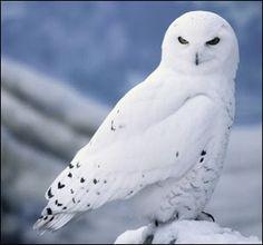 artic snow owl