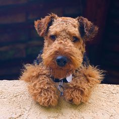 A face you can't help but love! Airedales and Welsh Terriers are so cute !!