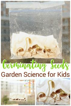 Kids will love sprouting their own seeds in a plastic baggie! With just a few materials, kids can watch seeds sprout by germinating seeds in a bag. via Kim- Life Over C's lernen anfänger linkshänder Science in a bag! Science Activities For Kids, Preschool Science, Spring Activities, Science For Kids, Stem Activities, Seeds Preschool, Elementary Science, Montessori Science, Sequencing Activities