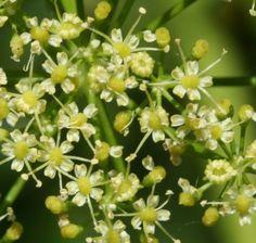Parsley Flower Remedy
