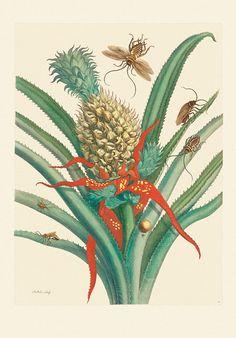 Maria Sibylla Merian. Metamorphosis Insectorum Surinamensium. | Frölich und Kaufmann