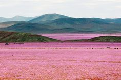 Flowers bloom in the Atacama desert, Chile  https://www.facebook.com/Maladviagem