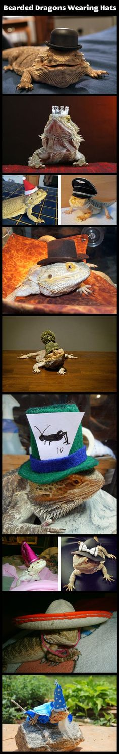 Bearded dragons wearing hats - why do I love stuff like this?