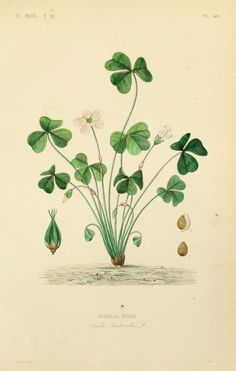 img/dessins plantes medicinales/surelle acide - oxalis acetosella.jpg