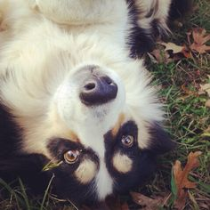 Bonnie Border Collie