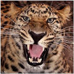 Leopardo 21