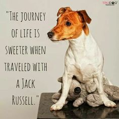 Here are some quotes and sayings why Jack Russell Terriers are the best dogs. Parson Jack Russell, Jack Russell Terriers, Jack Russell Mix, Jack Russell Puppies, John Russell, Parson Russell Terrier, Rat Terriers, Fox Terrier, Terrier Mix