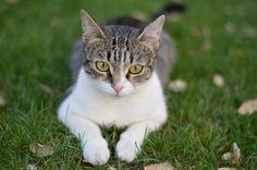 7 beneficios de tener un gato para nuestro bienestar y salud emocional y física en Sanitum. http://sanitum.com/beneficios-para-la-salud-de-tener-un-gato.html