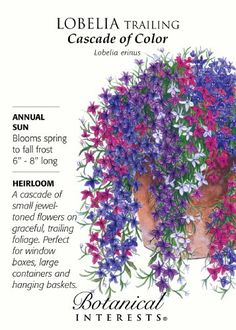 "Annual. Blooms from spring to fall frost. 6""""-8"""" long, 6"""" spread. Full sun. A cascade of small jewel-toned flowers of blue, blue with a white eye, lilac, red, ruby, and white on graceful trailing fo"