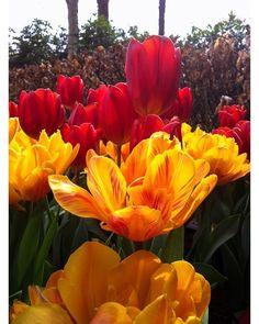 Post novo no blog! Falamos sobre 5 destinos perfeitos para um bate-volta a partir de Amsterdam. Um deles é o Keukenhof na primavera. O espetáculo das tulipas é apaixonante. --------- New blog post! We talked about 5 perfect destinations for a day trip from Amsterdam. One is the Keukenhof in the spring. The spectacle of tulips is breathtaking. ---------- #holanda #holland #netherlands #keukenhof #flor #flowers #bestvacations #igtravel #instatravel #photooftheday #picoftheday #traveladdict…