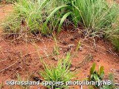 Trichoneura grandiglumis - Google Search Grass Type, Grasses, Herbs, Google Search, Plants, Lawn, Grass, Herb, Plant