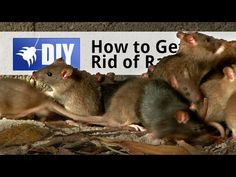 Rats can be tough to get rid of. In this video we break down 3 easy steps to get rid of a rat infestation. Click here to learn more about how to get rid of rats on your own: https://www.pinterest.com/diypestcontrol/rats/ For more information and products mentioned in this treatment:  http://www.domyownpestcontrol.com/how-to-get-rid-of-rats-a-525.html