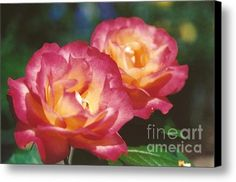 #704 1a Love Roses Double Delight Perfect Together Perfect Moment Canvas Print / Canvas Art By Robin Lee Mccarthy Photography