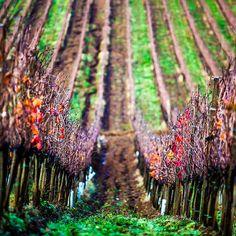 Passeggiando tra i filari - Walking in the vineyards by Poggio Lungo - qui si fa il Morellino, via Flickr