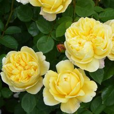 Buy Charles Darwin from David Austin with a 5 year guarantee and expert aftercare. Charles Darwin, Deadheading Roses, Mixed Border, Rose Foto, Rose Delivery, Rose Care, Types Of Roses, Shrub Roses, Rose Trees