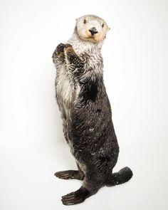 "Joel Sartore- Photo Ark (@joelsartore) on Instagram: ""At at the age of 20, this beautiful southern sea otter named Brook is the oldest female otter in…"""