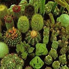 Follow these instructions for growing cacti from seed and you will surely be successful. It is best to use fresh seed when growing most...