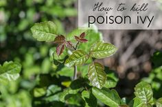 If you have poison ivy, then you need this quick, all-natural solution for how to kill poison ivy. It takes 3 ingredients & you probably already have them on hand!