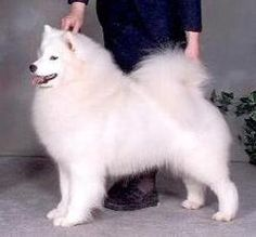 Samoyed - picture perfect!