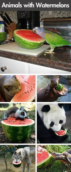 Animals eating watermelons… Awkward!!!!  @Sommer Merck show this to your momma it'll make her smile