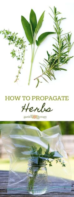 How to Propagate Herbs from Cuttings at home