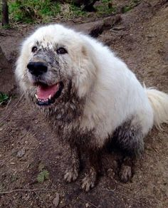 That is what dogs are known for, that and unconditional love. Most of us have seen dogs who are loyal and love their master but don't…Read more → Pyrenees Puppies, Great Pyrenees Dog, Dogs And Puppies, Doggies, Giant Dogs, Big Dogs, Maremma Sheepdog, White Dogs, Mountain Dogs