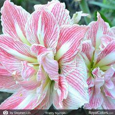 Good day! We have great news for you our new catalog is online www.royalcolors.com   #Amaryllis #Hippeastrum #royalcolors #Floral #Flower #Bloom #Beautiful #Amazing #bulbs #keukenhof #Netherlands #амариллис #アマリリス #孤挺花 #amarilis royalcolors.com #flowers