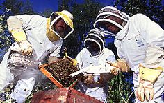 ARS chemists, technicians, and entomologists use smoke and a specially modified hand held vacuum to collect Africanized honey bees to study the impact of parasitic mites on them. Photo by Scott Bauer. ARS Photo Library