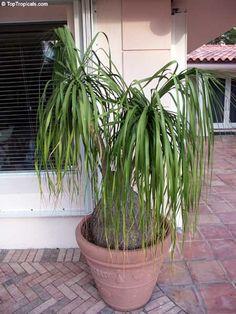 Aluminum plant watermelon plant pilea cadierei bright for Ponytail palm cats