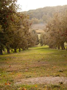 Orchard Photo  Early morning in the apple orchard by lilypadprints, $15.00