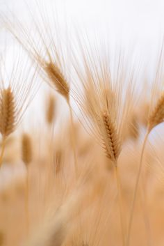 Golden wheat by Nori O App Background, Background Pictures, Light Blue Flowers, Dried Flowers, Aesthetic Images, Aesthetic Wallpapers, Kissing In The Rain, Sunflower Wallpaper, Light Of The World