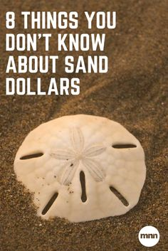 See those five holes in this bleached sand dollar? Those are pores, and sand dollars pass water through them to move. Seashell Art, Seashell Crafts, Beach Crafts, Sand Crafts, Starfish, Summer Crafts, Shells And Sand, Sea Shells, Sand Dollar Art