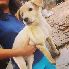 Delhi Adoptions! Bunny an adorable 2-month-old Golden Retriever-mixpuppy was abandoned outside a caregiver's. Though he ispresently in foster carehe urgently needs a new foster or aloving FOREVER home. This beautiful bouncy baby boy isin good health and has been given one vaccine so far. To foster or adopt Bunny please call or SMS9899624824 Email: harry3797@gmail.com. Pre-adoption house checks and other adoption formalities are mandatory. No breeders.