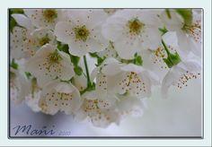 https://flic.kr/p/7XrqfL | Flor de cerezo